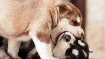 cachorros jugando|cachorros y su madre|educacion del perro|socializacion cachorros|cachorro-socializacion-min