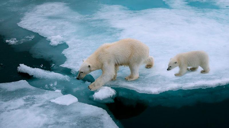 cambio climático en osos polares