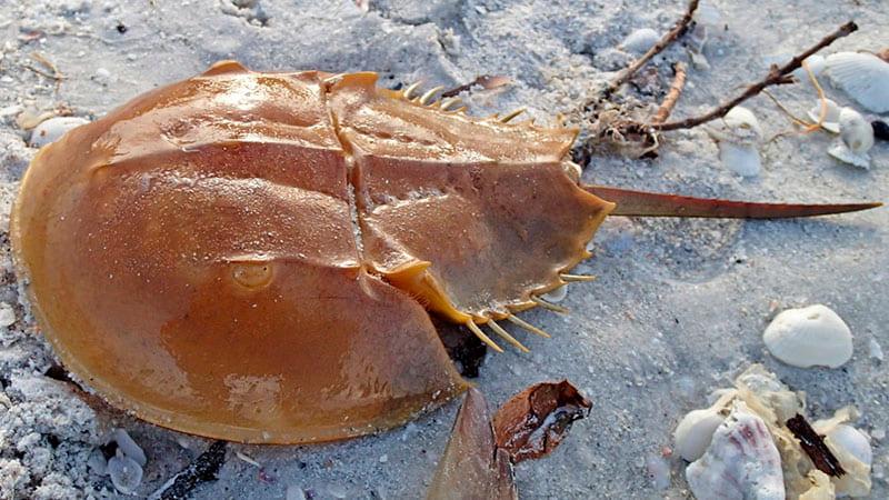 cangrejo-herradura-playa-min arana-mariquita pez-cubo tiburon-de-groenlandia hormiga-panda1-min