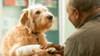 caring_for_an_injured_dog tac_vet recepcion traumatologia-auxiliar-veterinario rayos-clinica-veterinaria