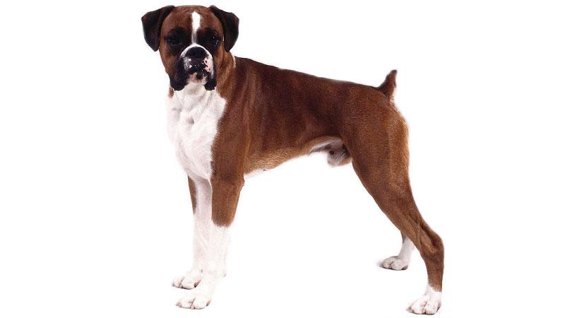 Caudectomía en el perro o mutilación canina de la cola