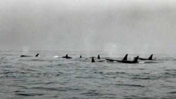 cetaceos|delfin|orca|ballena vasca