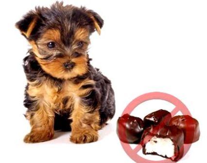 chocolate-venenoso-para-perros-y-gatos-1|chocolate-venenoso-para-perros-y-gatos-2