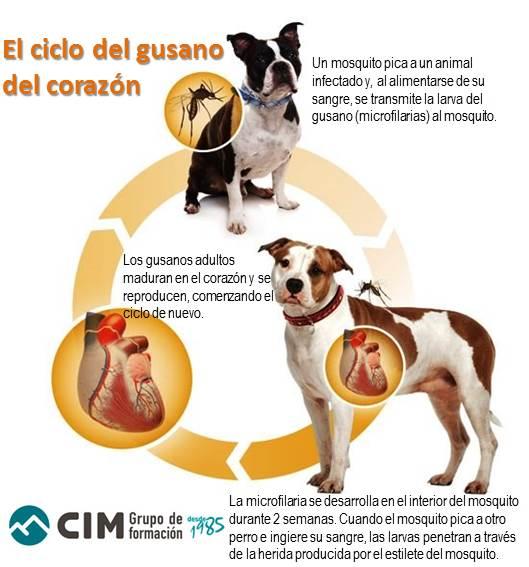 Dirofilariosis, la enfermedad que ataca el corazón de perros y gatos 1