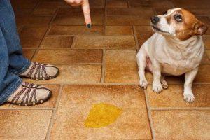 como-hacer-para-que-mi-perro-aprenda-a-hacer-pis