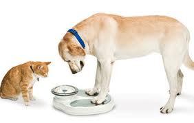 condicion-corporal-perro-gato|cavalier-spaniel-obeso|tabla-obesidad-perro-gato