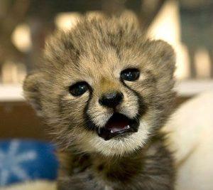 cria-guepardo