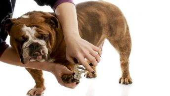 cuidados del bulldog inglés|cuidados del bulldog inglés