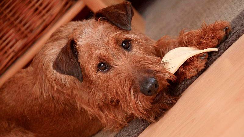 deficiencia-zinc-perros