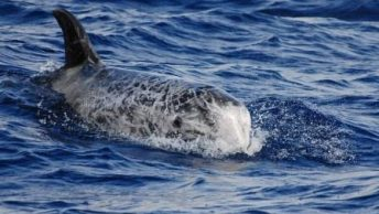 delfin calderon|Caza de ballenas en las Islas Feroe|delfines calderones