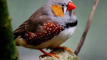 diamante-mandarin-macho-CIMFormacion|canario-silvestre-cantando-CIMFormacion|siringe-pajaros-CIMFormacion