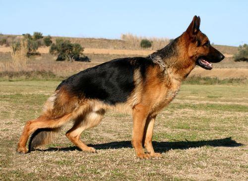 displasia-cadera-perros-2|displasia-severa-cadera-perro-2|displasia-cadera-perros-1|displasia-cadera-perros-3
