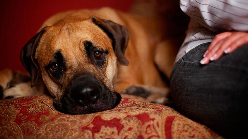 embarazo-psicologico-en-perras|pseudoembarazo-en-perras