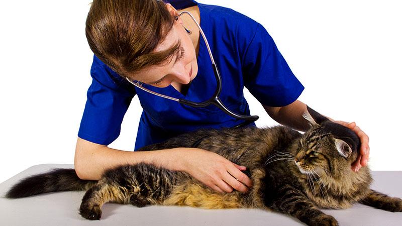 Veterinaria explorando a un gato