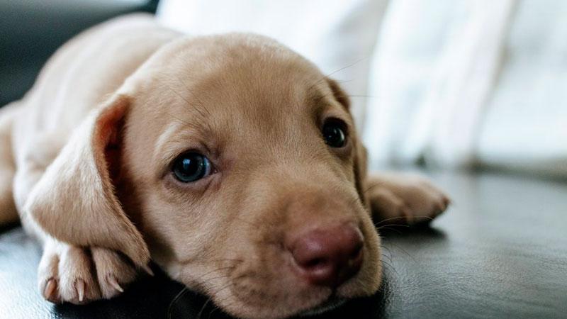 enfermedad-lyme-perros