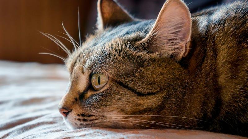 Gato tumbado y cabeza apoyada en la cama