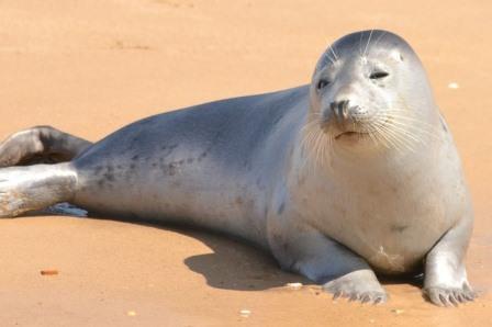 foca-moteada-joven|foca|Halichoerus-grypus