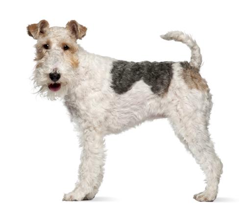 fox-terrier-perros-territoriales-CIM-Formacion
