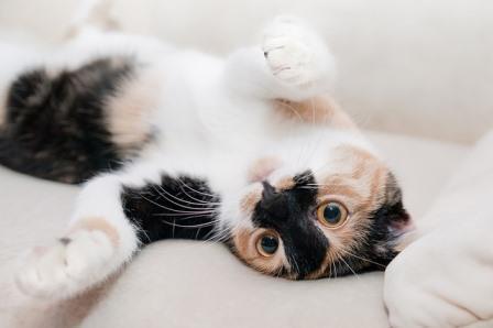 gato-queriendo-mimos|gato-descansando|gato-relajado