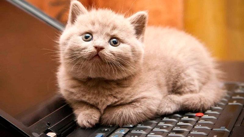 Gato tumbado sobre el teclado de un ordenador