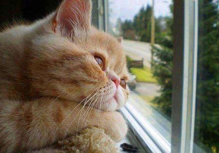 gato triste mirando por la ventana|gato-triste|trastorno afectivo estacional en gatos