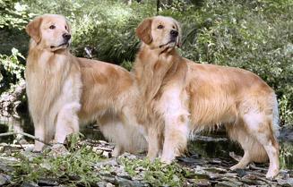 golden-retriever-CIMFormacion|comportamiento-temperamento-perro-CIMFormacion|pastor-aleman-CIMFormacion