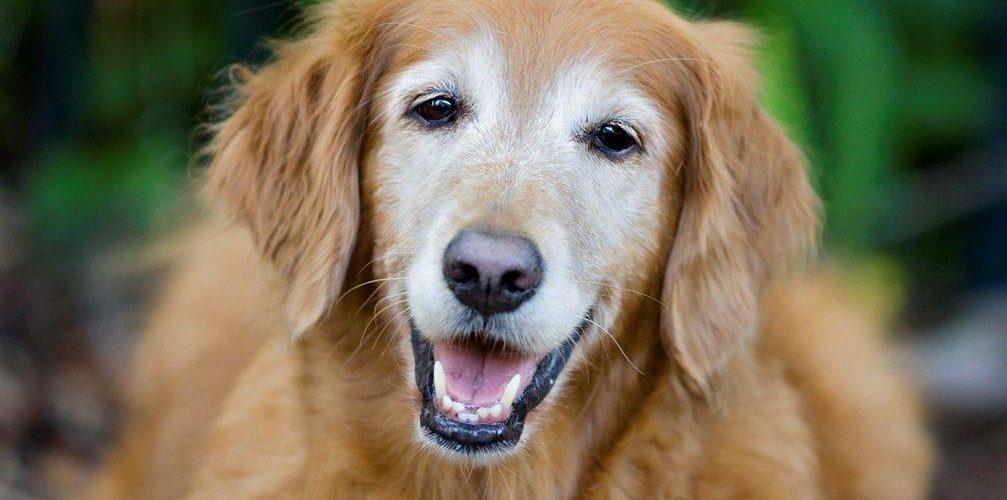 golden-retriever-viejo-CIMFormacion perro-viejo-CIMFormacion perro-nadando-CIMFormacion
