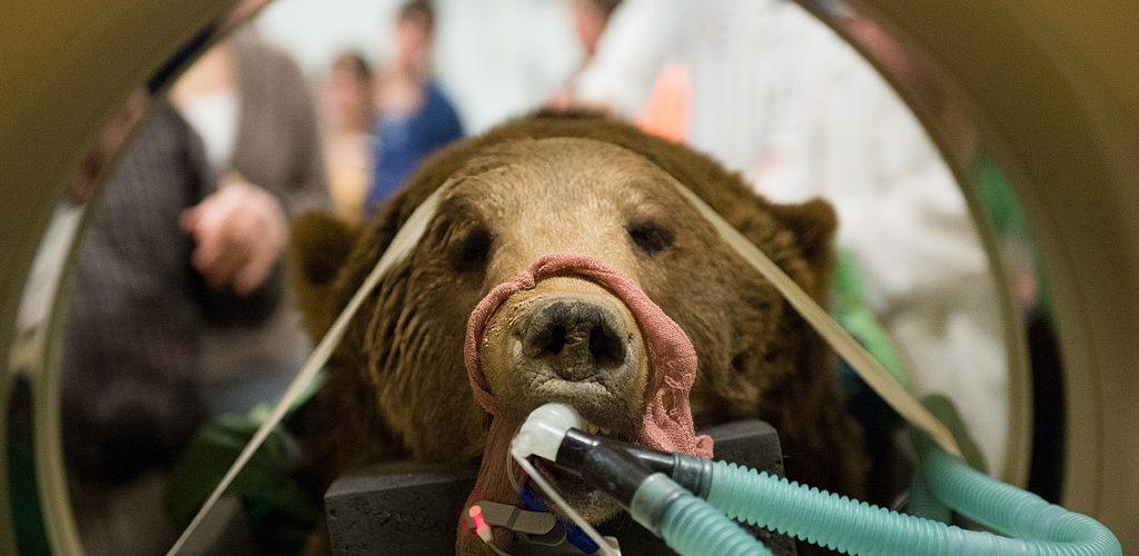 grizzly-operado-codos-CIMFormacion cirugia-codo-grizzly cirugia-oso-CIMFormacion