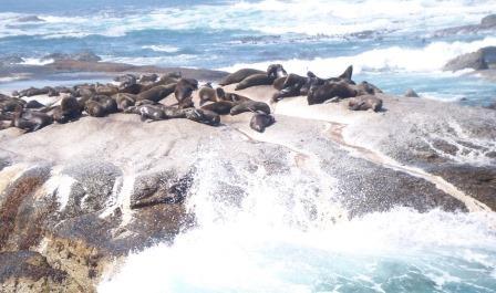 grupo-de-lobos-marinos|gaviotas-larus-dominicanus|lobos-marinos