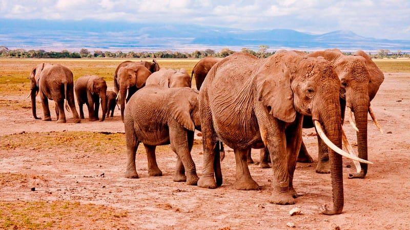 grupo-elefantes-caminando-min
