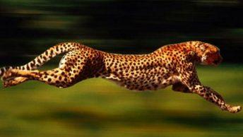 guepardo-felino-espectacular|cria-guepardo