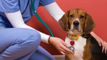 gusano-corazon-dirofilaria-dirofilariosis-3-CIM-Formacion|iva-veterinario|asistencia-veterinaria|asistencia-veterinaria-animales
