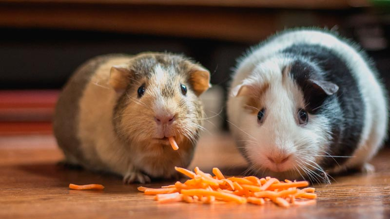 hasmters|hamsters-jugando