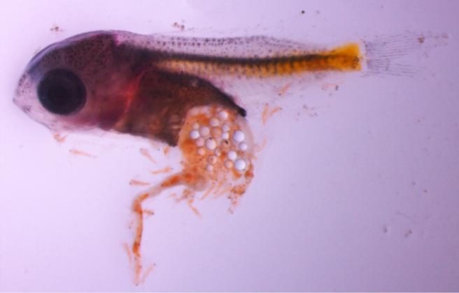 Larva de perca europea con micropartículas de plástico en su estómago.
