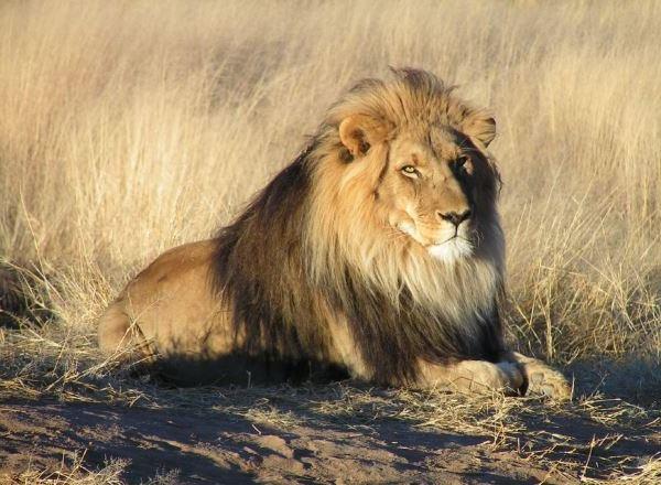 leon-africa distribucion-leon-en-el-mundo leon-atlas-berberia