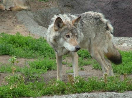 lobo huella de lobo