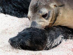 lobos-marinos
