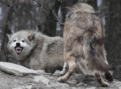 lobos perro jugando perro ladrando manada de lobos
