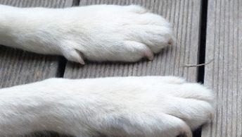los perros pueden ser diestros o zurdos|prueba para saber si mi gato es diestro o zurdo|prueba para saber si mi perro es diestro o zurdo|perro diestro