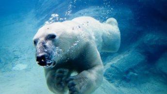 mamiferos-marinos-oso-polar-1|mamiferos-marinos-oso-polar-3