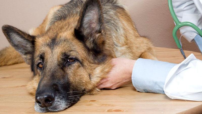 moquillo-canino-veterinaria
