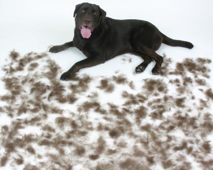 muda-de-pelo-perros|picor-picazon-perros|acaros-en-perros|caida-de-pelo-en-perros