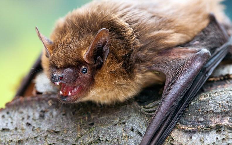 El murciélago hortelano (Eptesicus serotinus) es el principal portador, en su saliva, del virus de la rabia.