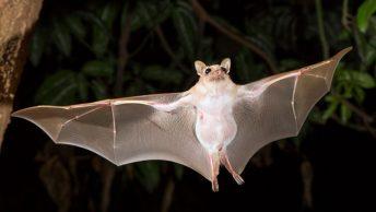 murcielago-volando-de-noche|ecolocalizacion-del-murcielago
