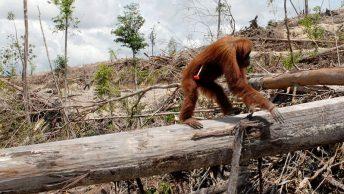 orangutan-peligro-extincion-min