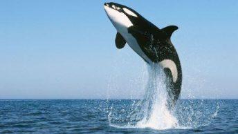 orca|orcas