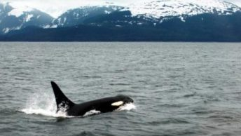 orca|grupo de orcas