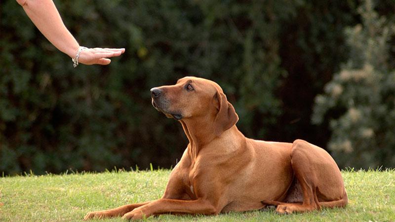 ordenes-basicas-de-obediencia-canina