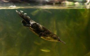 ornitorrinco nadando