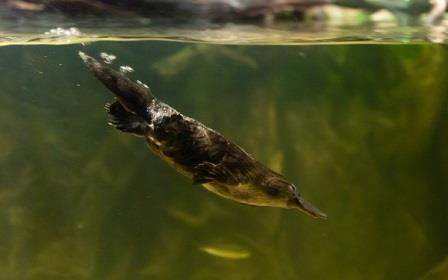 ornitorrinco nadando|ornitorrinco en el agua|ornitorrinco